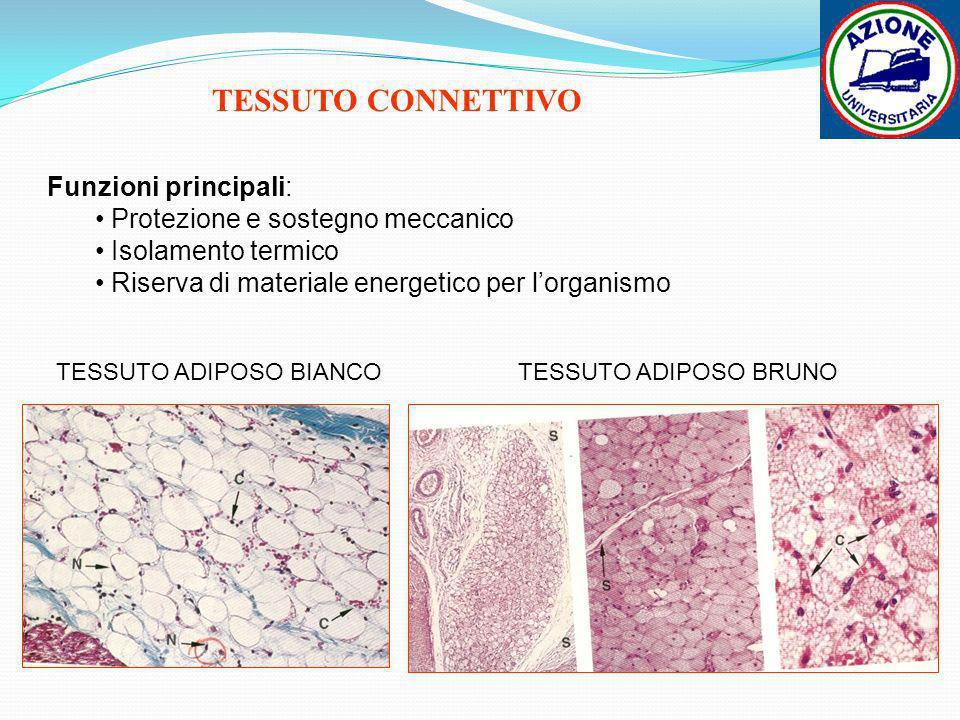 TESSUTO ADIPOSO BIANCOTESSUTO ADIPOSO BRUNO TESSUTO CONNETTIVO Funzioni principali: Protezione e sostegno meccanico Isolamento termico Riserva di mate