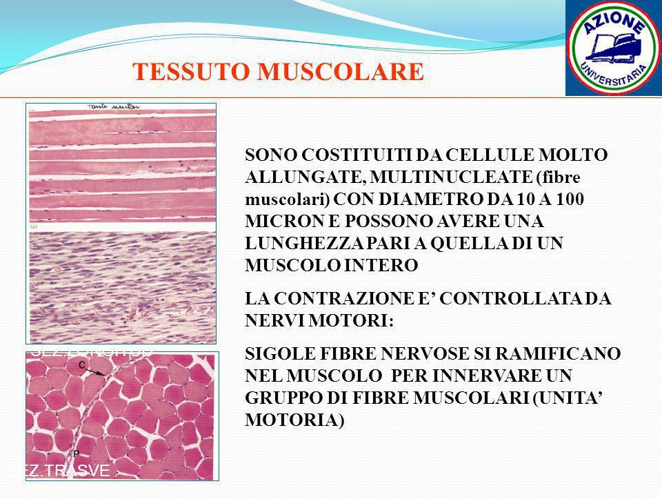 TESSUTO MUSCOLARE SEZ.LONGITUD SEZ.TRASVE SONO COSTITUITI DA CELLULE MOLTO ALLUNGATE, MULTINUCLEATE (fibre muscolari) CON DIAMETRO DA 10 A 100 MICRON