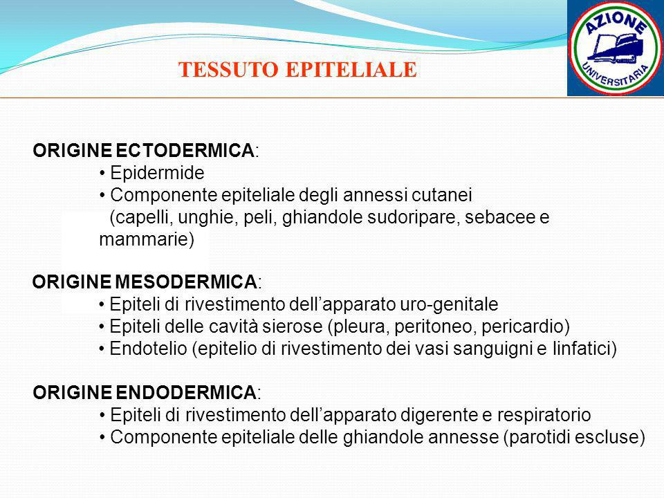TESSUTO EPITELIALE ORIGINE ECTODERMICA: Epidermide Componente epiteliale degli annessi cutanei (capelli, unghie, peli, ghiandole sudoripare, sebacee e