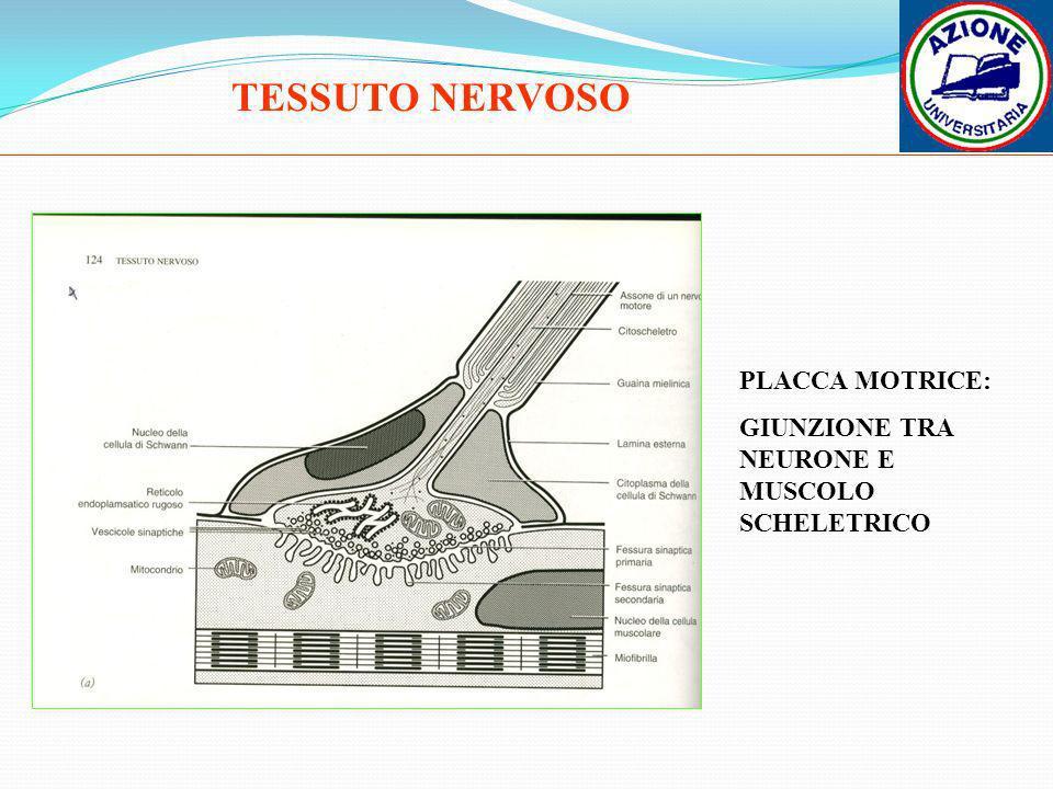 PLACCA MOTRICE: GIUNZIONE TRA NEURONE E MUSCOLO SCHELETRICO
