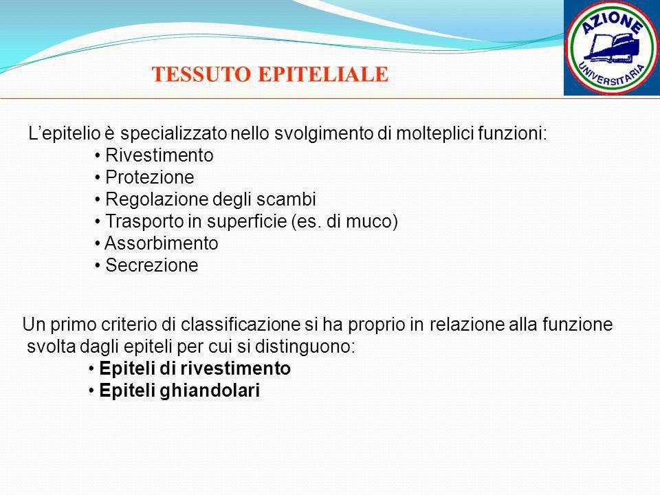 TESSUTO EPITELIALE Lepitelio è specializzato nello svolgimento di molteplici funzioni: Rivestimento Protezione Regolazione degli scambi Trasporto in s