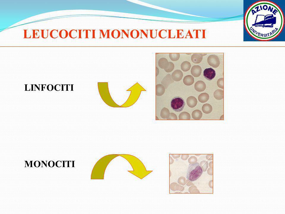 LEUCOCITI MONONUCLEATI LINFOCITI MONOCITI