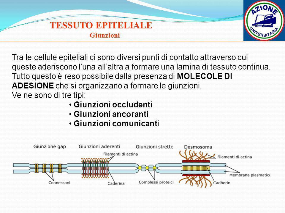 TESSUTO EPITELIALE Giunzioni Tra le cellule epiteliali ci sono diversi punti di contatto attraverso cui queste aderiscono luna allaltra a formare una