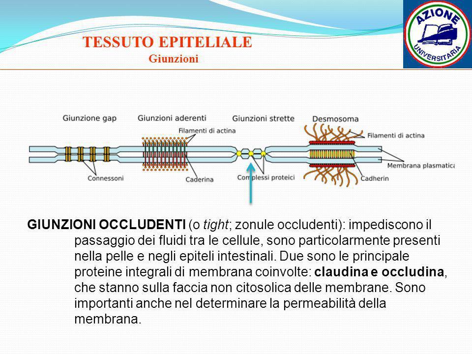 TESSUTO EPITELIALE Giunzioni GIUNZIONI OCCLUDENTI (o tight; zonule occludenti): impediscono il passaggio dei fluidi tra le cellule, sono particolarmen