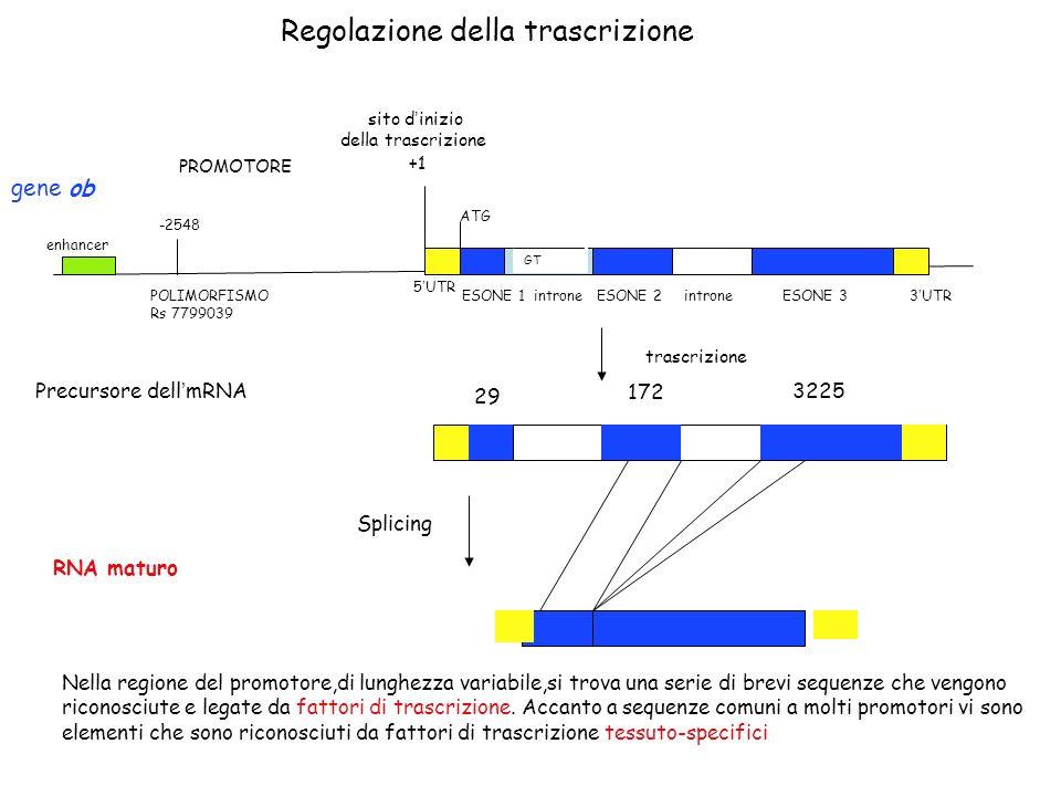 Regolazione della trascrizione +1 sito d inizio della trascrizione PROMOTORE 5 UTR ESONE 1 introne ESONE 2 introne ESONE 3 3 UTR -2548 POLIMORFISMO Rs