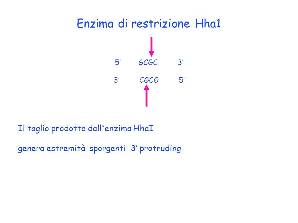 Enzima di restrizione Hha1 5 GCGC 3 3 CGCG 5 Il taglio prodotto dallenzima HhaI genera estremità sporgenti 3 protruding