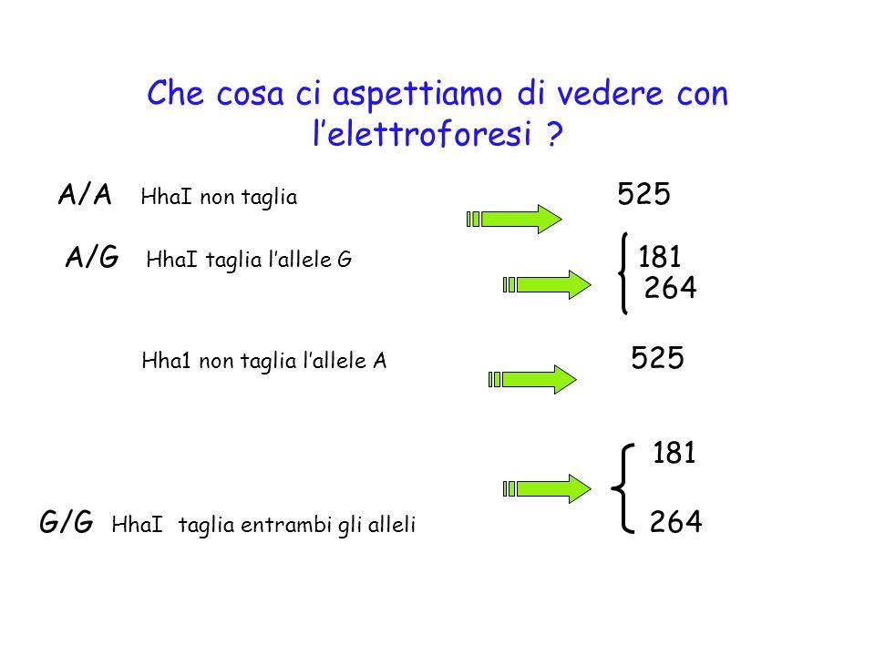 Che cosa ci aspettiamo di vedere con lelettroforesi ? A/A HhaI non taglia 525 A/G HhaI taglia lallele G 181 264 Hha1 non taglia lallele A 525 181 G/G