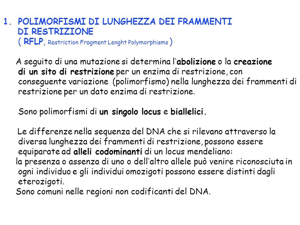 1.POLIMORFISMI DI LUNGHEZZA DEI FRAMMENTI DI RESTRIZIONE ( RFLP, Restriction Fragment Lenght Polymorphisms ) A seguito di una mutazione si determina l