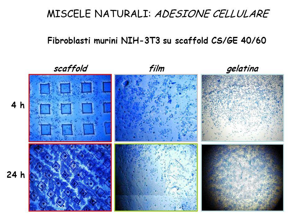 MISCELE NATURALI: ADESIONE CELLULARE scaffoldfilmgelatina 4 h 24 h Fibroblasti murini NIH-3T3 su scaffold CS/GE 40/60