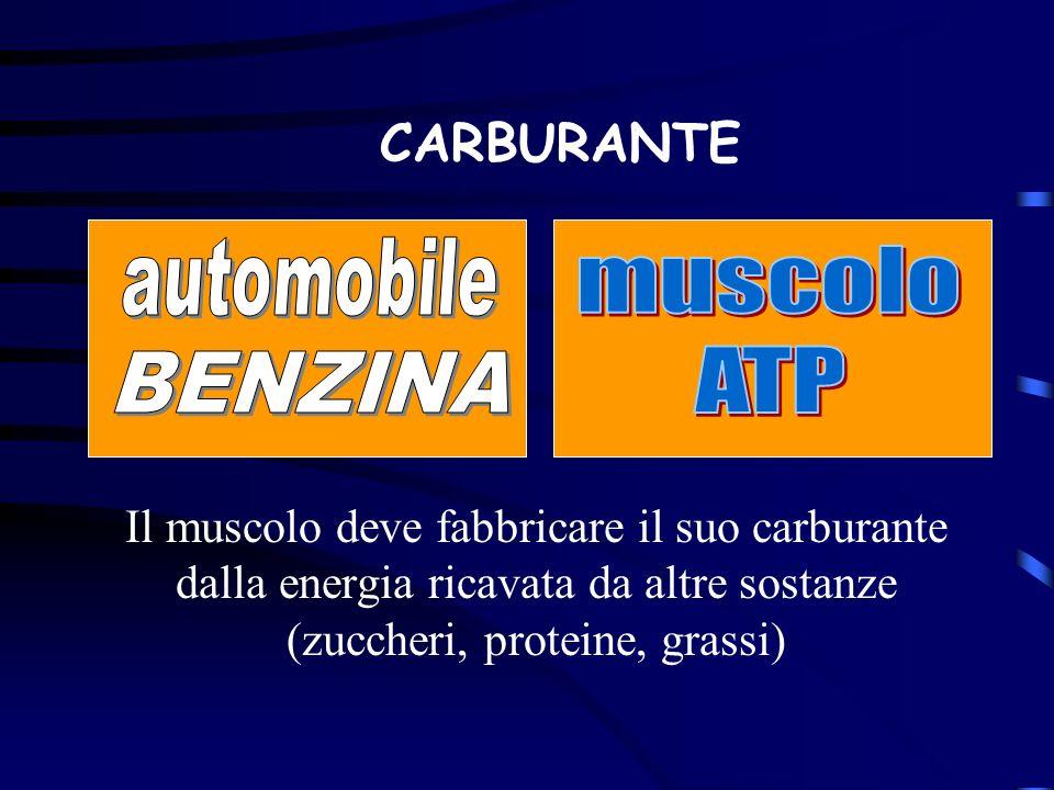Il muscolo deve fabbricare il suo carburante dalla energia ricavata da altre sostanze (zuccheri, proteine, grassi) CARBURANTE