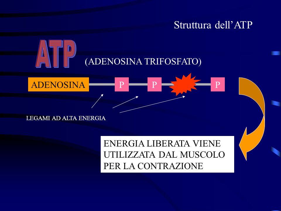 ADENOSINAPPP (ADENOSINA TRIFOSFATO) LEGAMI AD ALTA ENERGIA ENERGIA LIBERATA VIENE UTILIZZATA DAL MUSCOLO PER LA CONTRAZIONE Struttura dellATP