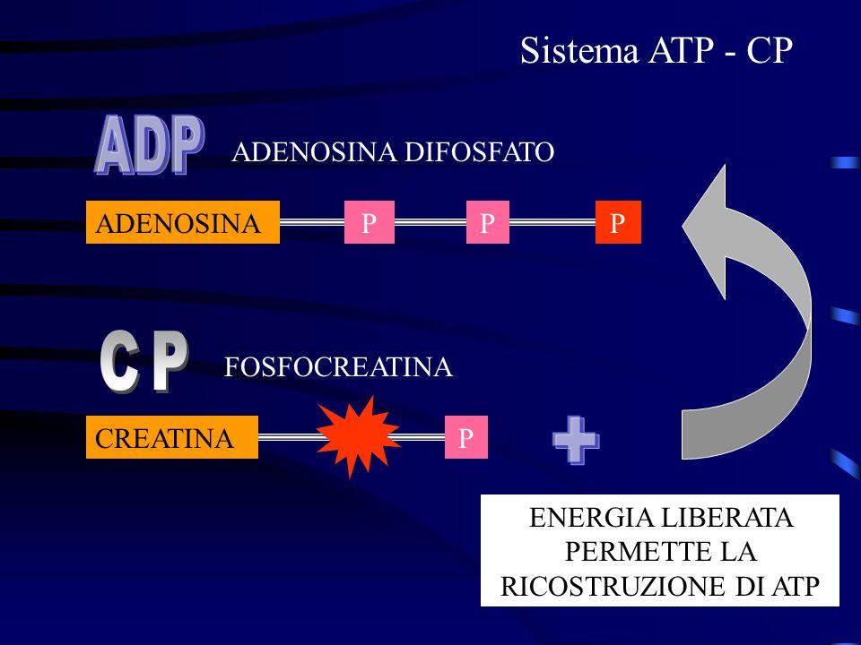 ENERGIA LIBERATA PERMETTE LA RICOSTRUZIONE DI ATP ADENOSINA DIFOSFATO FOSFOCREATINA ADENOSINA CREATINAP PP Sistema ATP - CP P
