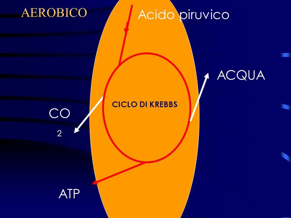 Ciclo di Krebbs Acido piruvico ATP ACQUA CO 2 AEROBICO CICLO DI KREBBS