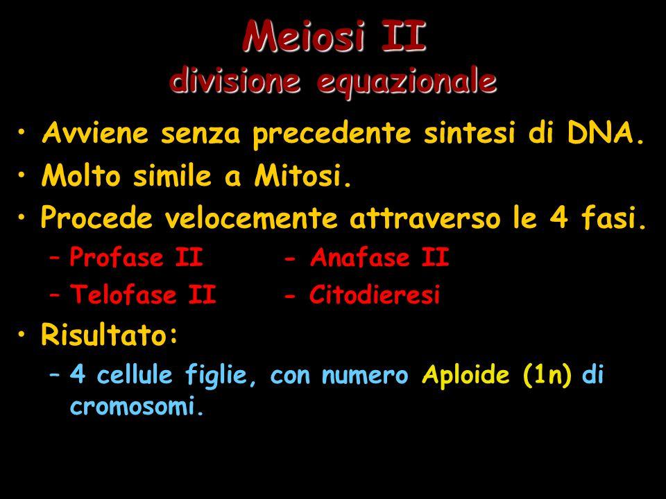 Meiosi II divisione equazionale Avviene senza precedente sintesi di DNA. Molto simile a Mitosi. Procede velocemente attraverso le 4 fasi. –Profase II-