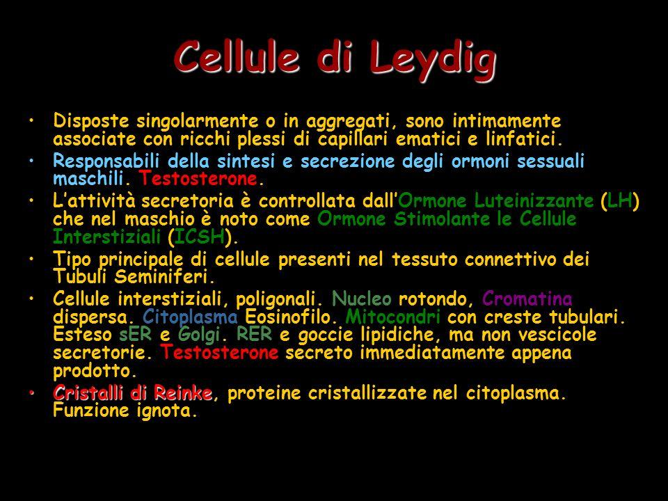 Cellule di Leydig Disposte singolarmente o in aggregati, sono intimamente associate con ricchi plessi di capillari ematici e linfatici. Responsabili d