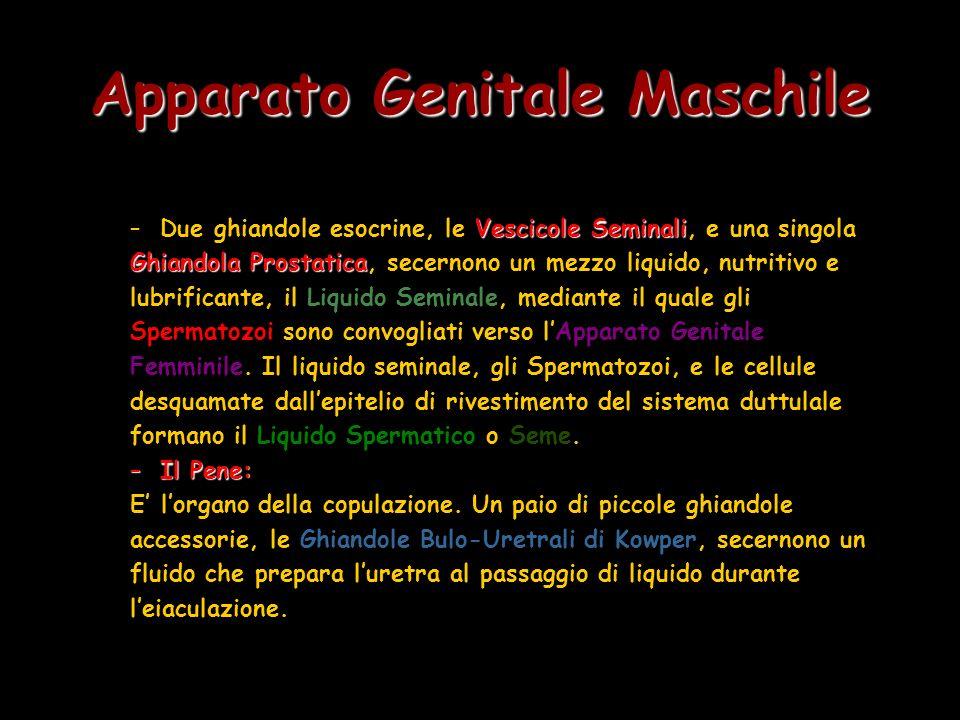 Apparato Genitale Maschile Vescicole Seminali –Due ghiandole esocrine, le Vescicole Seminali, e una singola Ghiandola Prostatica Ghiandola Prostatica,