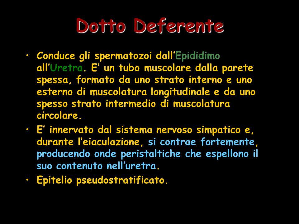 Dotto Deferente Conduce gli spermatozoi dallEpididimo allUretra. E un tubo muscolare dalla parete spessa, formato da uno strato interno e uno esterno