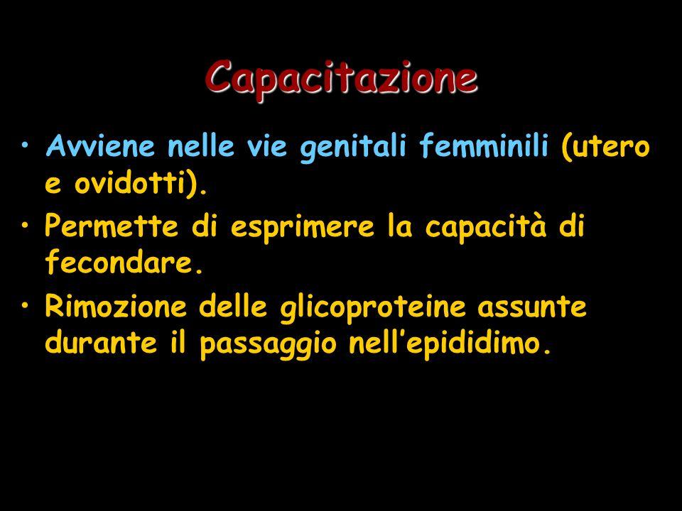 Capacitazione Avviene nelle vie genitali femminili (utero e ovidotti). Permette di esprimere la capacità di fecondare. Rimozione delle glicoproteine a