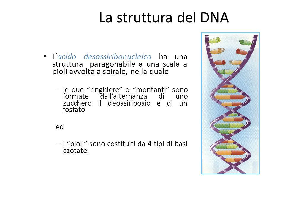 In ogni cromosoma è contenuta ununica molecola di DNA fortemente condensata (cromatina); se fosse possibile disporre in fila i 46 cromosomi umani, con il DNA completamente disteso, essi raggiungerebbero la lunghezza di circa 1m.