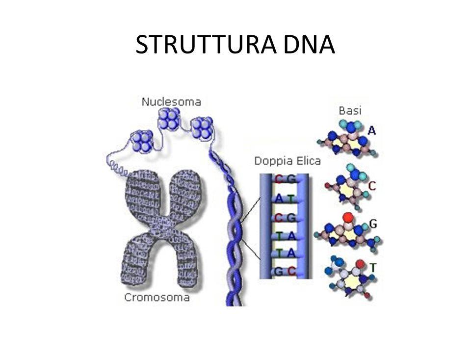 REPLICAZIONE DEL DNA REPLICAZIONE La REPLICAZIONE del DNA avviene nel seguente modo: I nuovi nucleotidi sintetizzati nel citoplasma, sono portati allinterno del nucleo I due filamenti di una doppia elica, si separano e si allontanano luno dallaltro Ogni filamento viene utilizzato come stampo su cui si riuniscono i nuovo nucleotidi per formare una molecola complementare al filamento Il filamento iniziale e il nuovo filamento complementare appena completato, si riavvolgono formando una nuova molecola di DNA, mentre laltro filamento iniziale e il nuovo filamento complementare a loro volta si riavvolgono, formando la seconda molecola di DNA