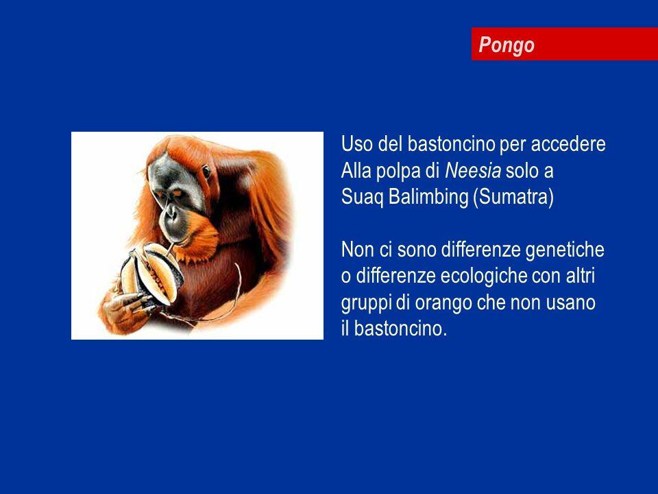 Pongo Uso del bastoncino per accedere Alla polpa di Neesia solo a Suaq Balimbing (Sumatra) Non ci sono differenze genetiche o differenze ecologiche co