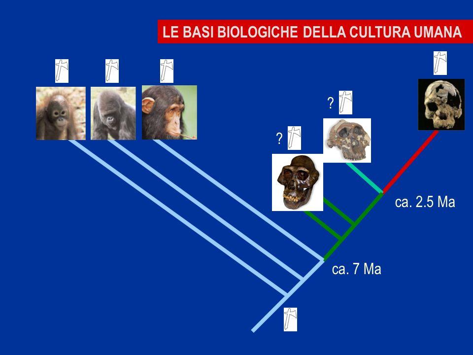 MEMORIALE BASI BIOLOGICHE DELLA CULTURA UMANA ca. 7 Ma ca. 2.5 Ma ? ?