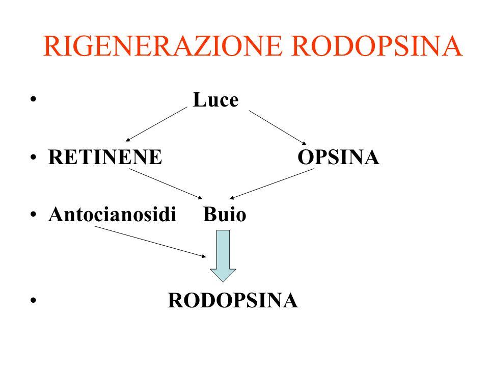 RIGENERAZIONE RODOPSINA Luce RETINENE OPSINA Antocianosidi Buio RODOPSINA