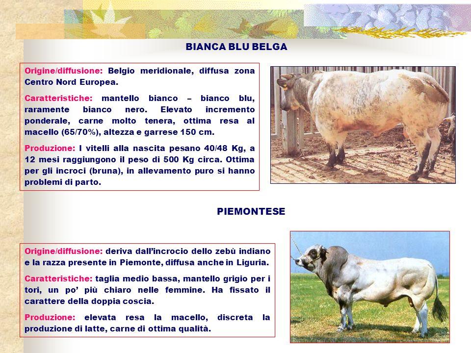 BIANCA BLU BELGA Origine/diffusione: Belgio meridionale, diffusa zona Centro Nord Europea. Caratteristiche: mantello bianco – bianco blu, raramente bi
