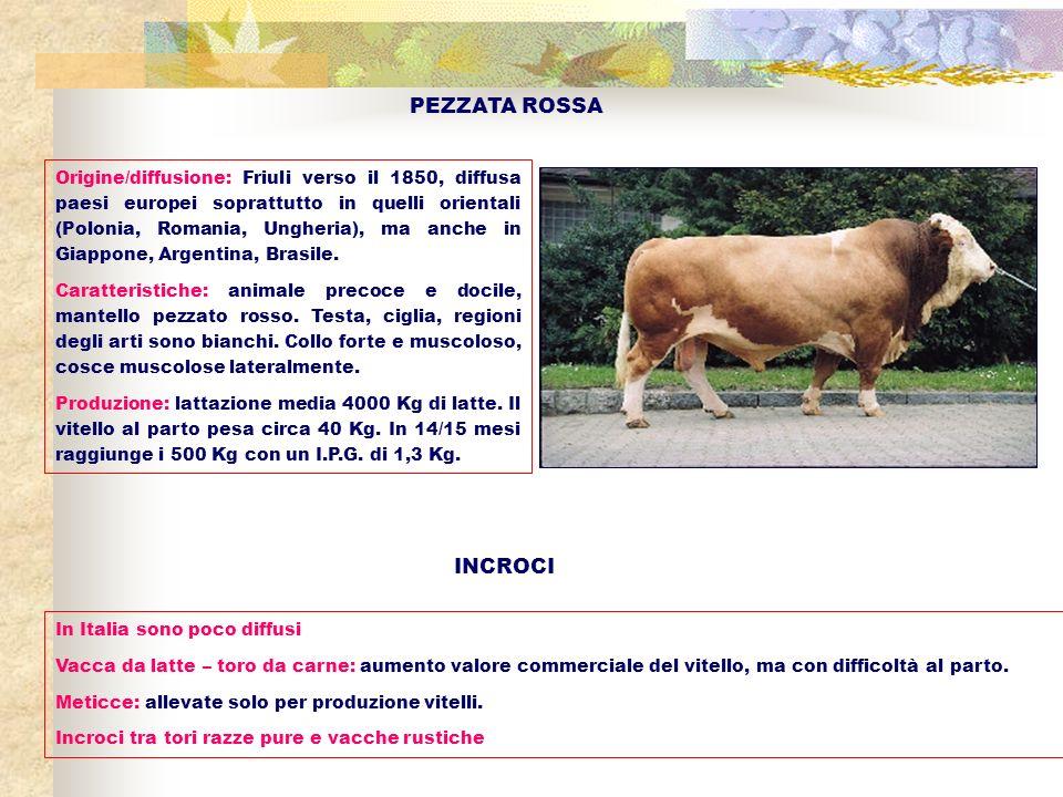 PEZZATA ROSSA Origine/diffusione: Friuli verso il 1850, diffusa paesi europei soprattutto in quelli orientali (Polonia, Romania, Ungheria), ma anche i
