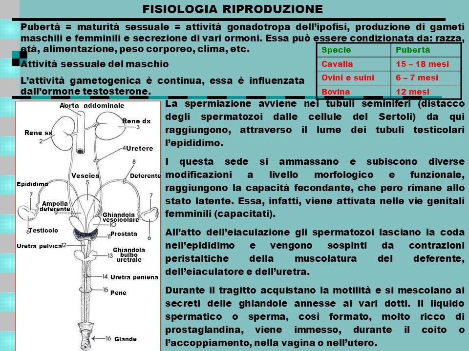 FISIOLOGIA RIPRODUZIONE Pubertà = maturità sessuale = attività gonadotropa dellipofisi, produzione di gameti maschili e femminili e secrezione di vari