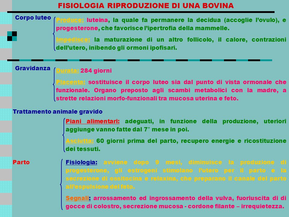 FISIOLOGIA RIPRODUZIONE DI UNA BOVINA Corpo luteo Produce: luteina, la quale fa permanere la decidua (accoglie lovulo), e progesterone, che favorisce