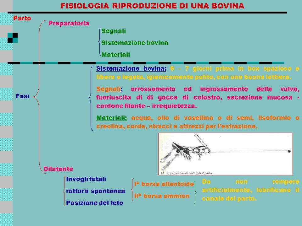 FISIOLOGIA RIPRODUZIONE DI UNA BOVINA Sistemazione bovina: 6 – 7 giorni prima in box spazioso e libera o legata, igienicamente pulito, con una buona l
