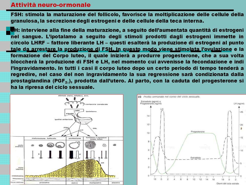 Attività neuro-ormonale FSH: stimola la maturazione del follicolo, favorisce la moltiplicazione delle cellule della granulosa, la secrezione degli est