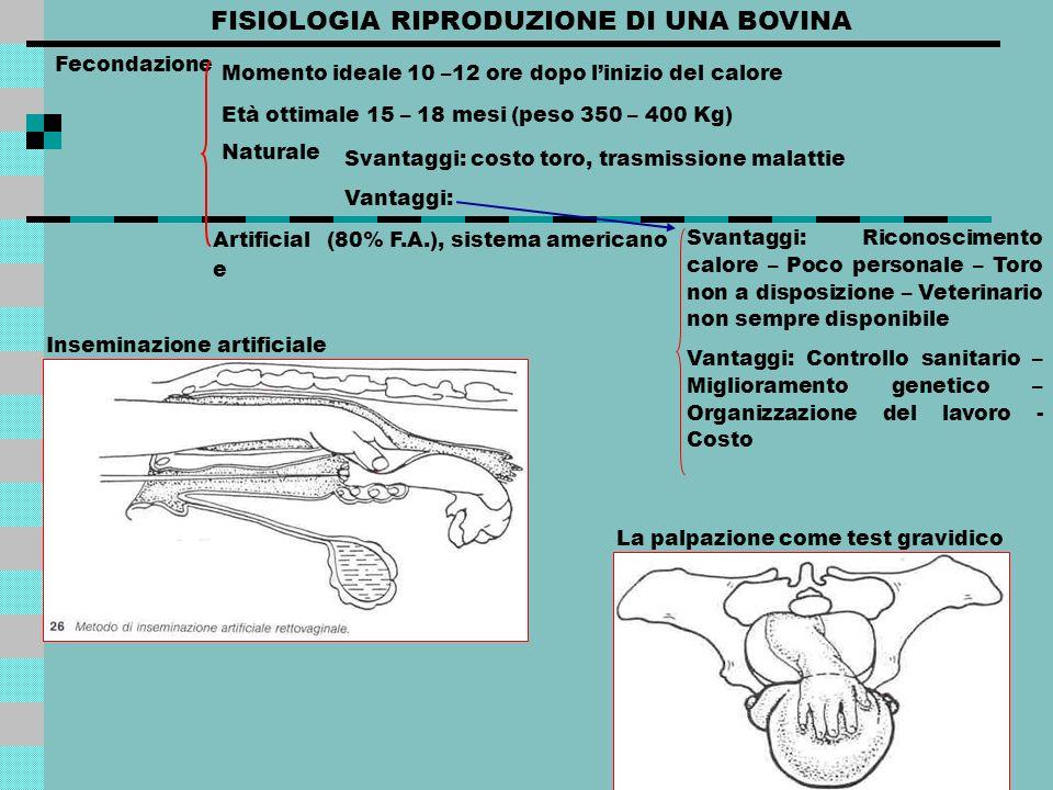 FISIOLOGIA RIPRODUZIONE DI UNA BOVINA Corpo luteo Produce: luteina, la quale fa permanere la decidua (accoglie lovulo), e progesterone, che favorisce lipertrofia della mammelle.