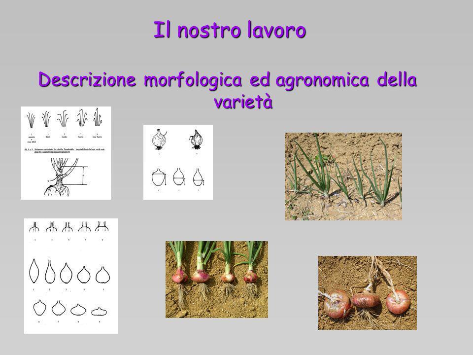 Il nostro lavoro Descrizione morfologica ed agronomica della varietà