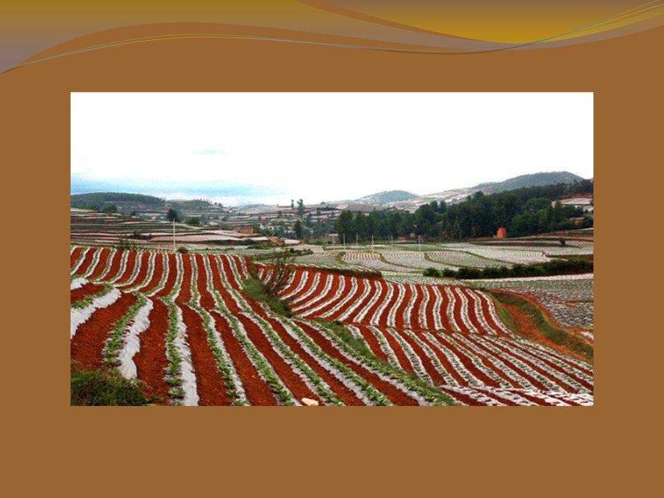 Le linee curve delle piantagioni sono evidenziate dal suolo rosso.