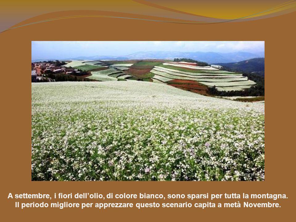 A settembre, i fiori dellolio, di colore bianco, sono sparsi per tutta la montagna.
