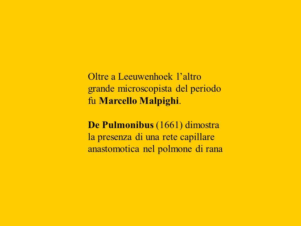 Oltre a Leeuwenhoek laltro grande microscopista del periodo fu Marcello Malpighi. De Pulmonibus (1661) dimostra la presenza di una rete capillare anas