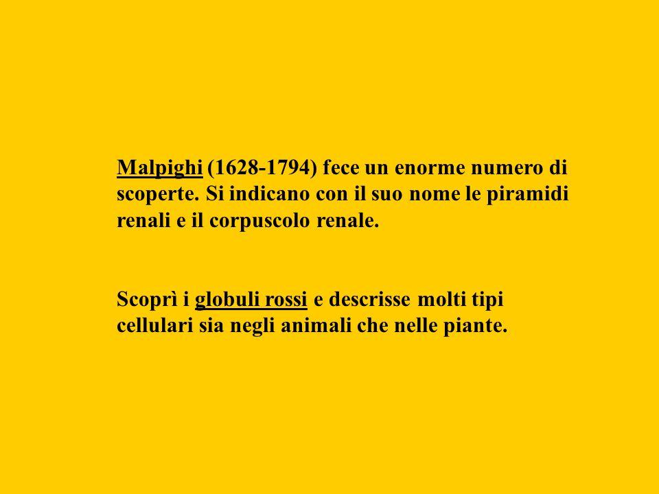 Malpighi (1628-1794) fece un enorme numero di scoperte. Si indicano con il suo nome le piramidi renali e il corpuscolo renale. Scoprì i globuli rossi