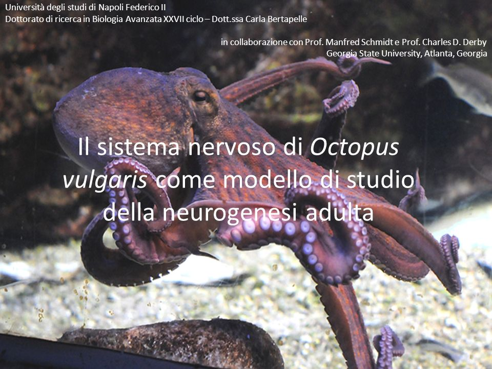 Il sistema nervoso di Octopus vulgaris come modello di studio della neurogenesi adulta Università degli studi di Napoli Federico II Dottorato di ricer