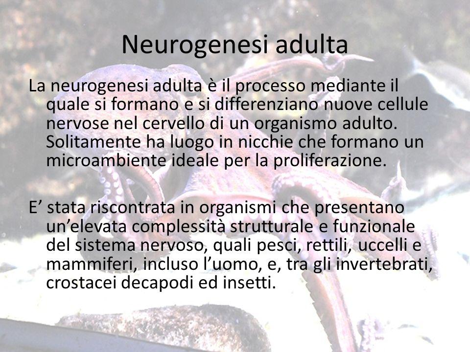 Neurogenesi adulta La neurogenesi adulta è il processo mediante il quale si formano e si differenziano nuove cellule nervose nel cervello di un organi
