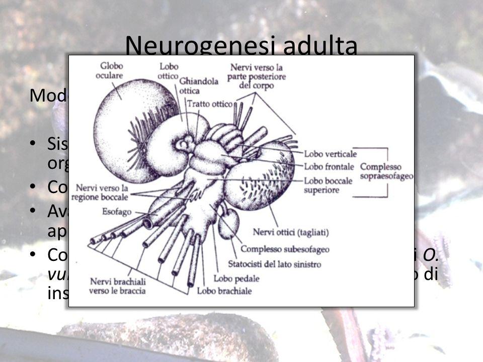 Neurogenesi adulta Modello di studio: Octopus vulgaris Sistema nervoso centralizzato con unelevata organizzazione strutturale e funzionale. Complesse