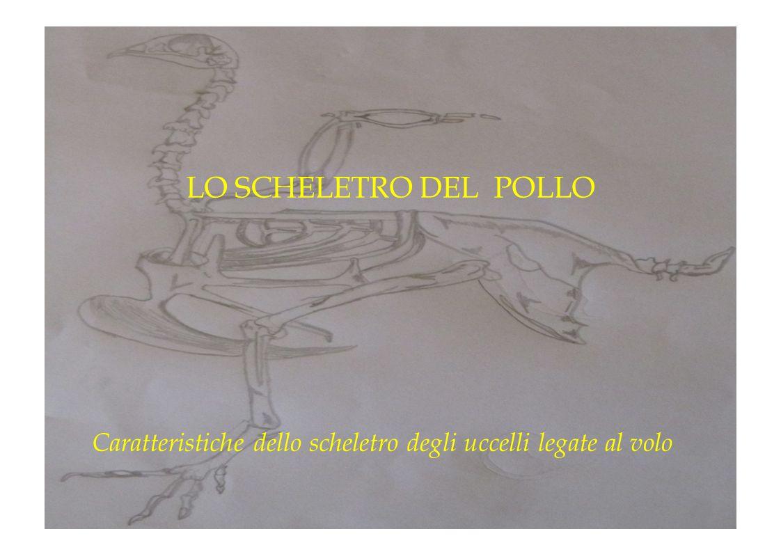 Caratteristiche dello scheletro degli uccelli legate al volo LO SCHELETRO DEL POLLO