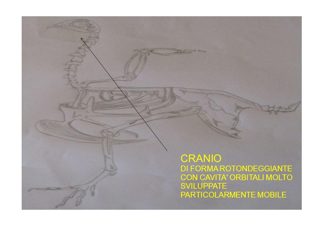 CRANIO DI FORMA ROTONDEGGIANTE CON CAVITA' ORBITALI MOLTO SVILUPPATE PARTICOLARMENTE MOBILE