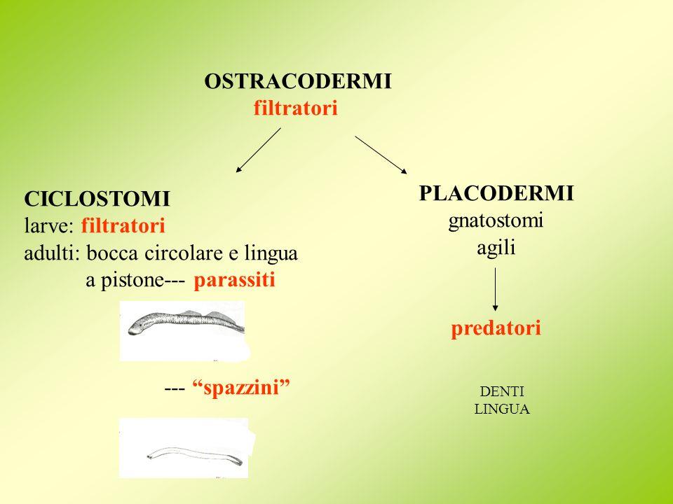 OSTRACODERMI filtratori CICLOSTOMI larve: filtratori adulti: bocca circolare e lingua a pistone--- parassiti --- spazzini PLACODERMI gnatostomi agili
