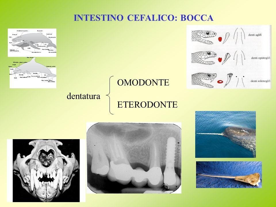 INTESTINO CEFALICO: BOCCA dentatura OMODONTE ETERODONTE
