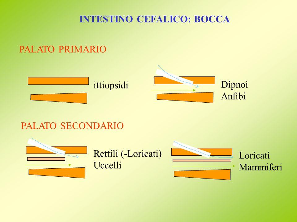 INTESTINO CEFALICO: BOCCA PALATO PRIMARIO ittiopsidi Dipnoi Anfibi PALATO SECONDARIO Rettili (-Loricati) Uccelli Loricati Mammiferi