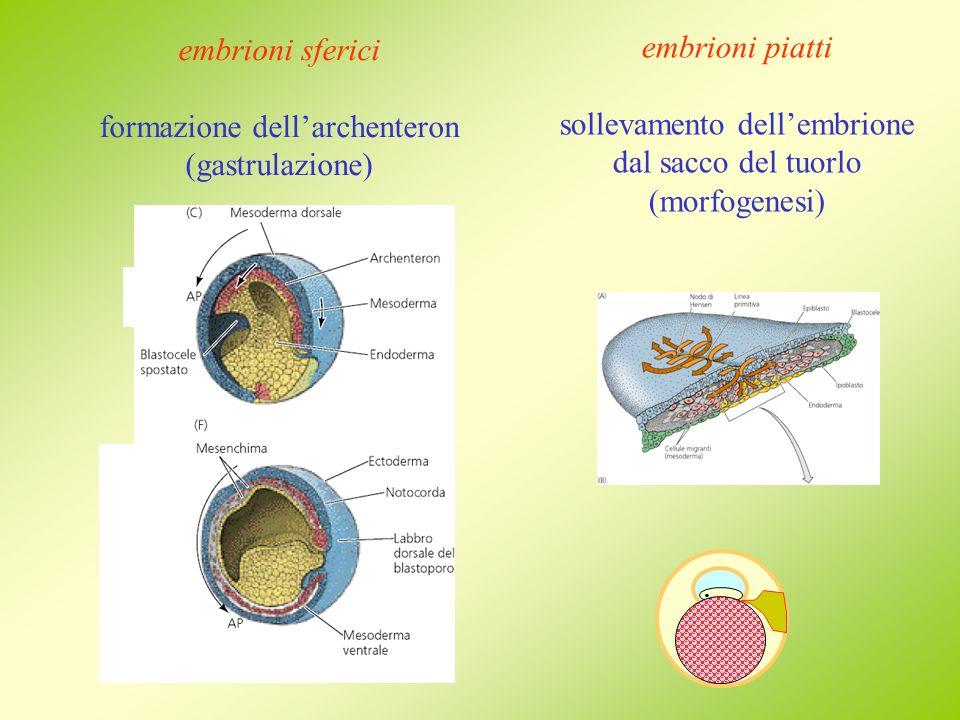 embrioni sferici formazione dellarchenteron (gastrulazione). embrioni piatti sollevamento dellembrione dal sacco del tuorlo (morfogenesi)