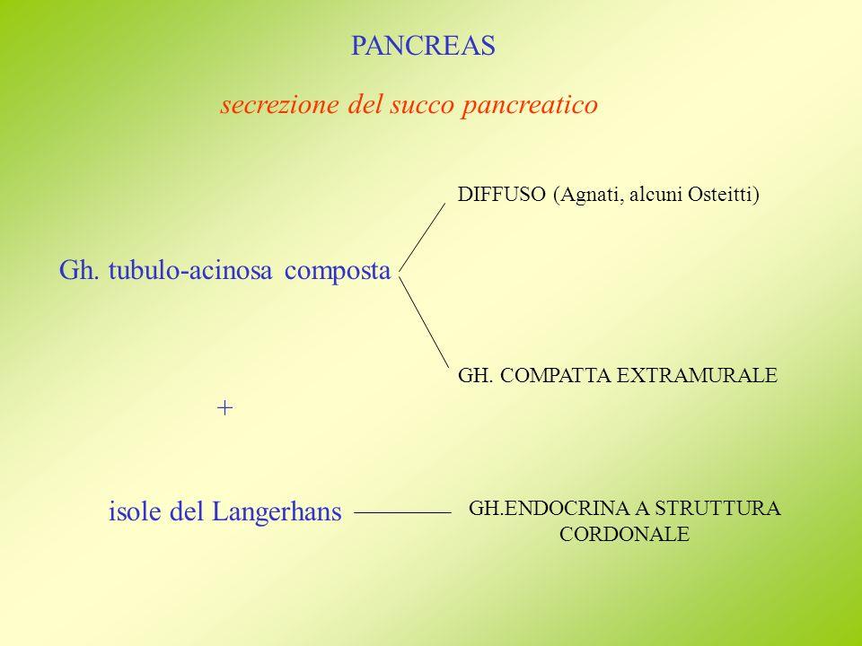 PANCREAS Gh. tubulo-acinosa composta + isole del Langerhans DIFFUSO (Agnati, alcuni Osteitti) GH. COMPATTA EXTRAMURALE secrezione del succo pancreatic