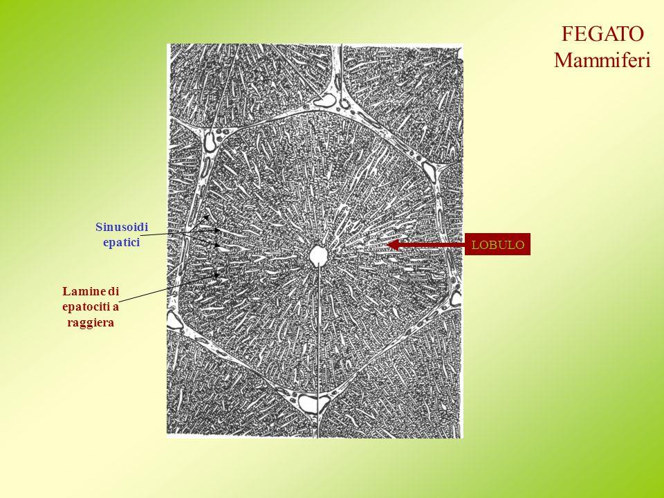 LOBULO Sinusoidi epatici Lamine di epatociti a raggiera FEGATO Mammiferi